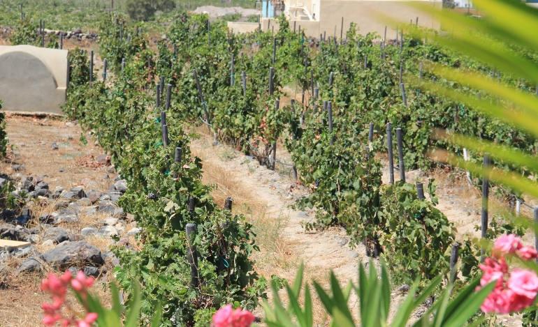 Σαντορίνη: Η πιο φιλόξενη και πιο όμορφη οινοπαραγωγική περιοχή της χώρας
