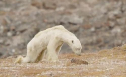 Πολική αρκούδα ψάχνει φαγητό στα σκουπίδια