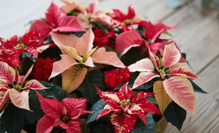 Ημέρα του Αλεξανδρινού: Η ιστορία αυτού του όμορφου χριστουγεννιάτικου λουλουδιού