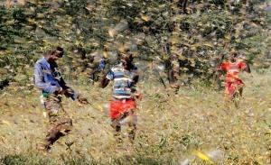 «Πρωτοφανή» σμήνη ακρίδων απειλούν με λιμό την Ανατολική Αφρική