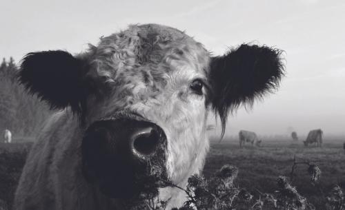 Ε.Ε. - κτηνοτροφία: Το τέλος μιας όμορφης φιλίας;