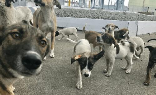 Τα αδέσποτα σκυλιά του Τσέρνομπιλ