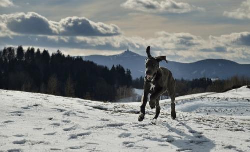 Γνωρίστε τον Μεγάλο Δανό, τον καλοκάγαθο γίγαντα σκύλο